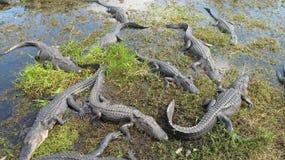 Nido dell'alligatore Immagine Stock Libera da Diritti