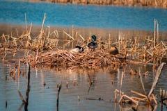 Nido dell'anatra di Mallard un giorno di molla in un lago immagini stock libere da diritti