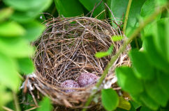Nido dell'uccello Fotografie Stock Libere da Diritti