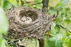 Nido dell'uccello Fotografia Stock