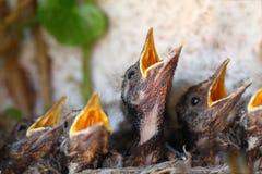 Nido dell'uccello con i giovani uccelli Fotografia Stock Libera da Diritti
