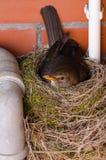 Nido dell'uccello del comando Immagine Stock Libera da Diritti