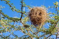 Nido dell'uccello del tessitore Fotografia Stock