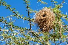 Nido dell'uccello del tessitore Fotografia Stock Libera da Diritti