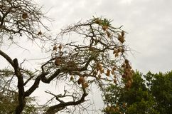 Nido dell'uccello del tessitore Fotografie Stock Libere da Diritti