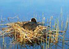 Nido dell'uccello su acqua (Fulica Atra) Fotografia Stock