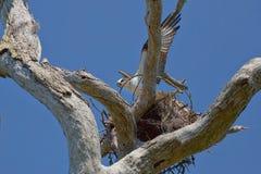 Nido della costruzione del falco pescatore Fotografia Stock Libera da Diritti