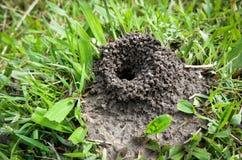 Nido della formica Immagini Stock