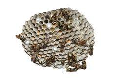 Nido della vespa Fotografie Stock