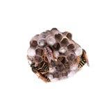 Nido della vespa isolato fotografia stock libera da diritti