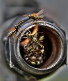 Nido delle vespe fotografia stock