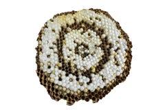 Nido delle vespe di Brown con le larve e le uova Fotografia Stock Libera da Diritti