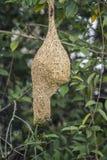 Nido di Baya Weaver nel parco nazionale di Minneriya, Sri Lanka Fotografia Stock Libera da Diritti