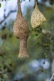 Nido di Baya Weaver nel parco nazionale di Minneriya, Sri Lanka Immagine Stock Libera da Diritti