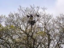 Nido di corvi Fotografia Stock Libera da Diritti