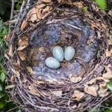 Nido di Corvid con le uova Fotografia Stock