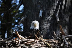 Nido di Eagle fotografie stock libere da diritti