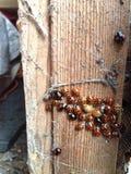 Nido di Ladybird Fotografia Stock