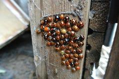 Nido di Ladybird Fotografia Stock Libera da Diritti