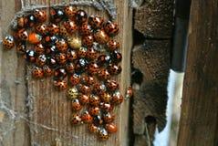 Nido di Ladybird Fotografie Stock Libere da Diritti