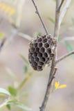 Nido di una vespa che appende su un ramo di albero Fotografia Stock