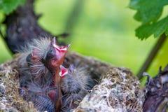 Nido do nel de Uccelli appena nati del bebê Imagem de Stock