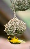 Nido dorato della costruzione dell'uccello del tessitore Immagine Stock