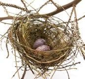 Nido ed uova dell'uccello su fondo bianco Immagini Stock