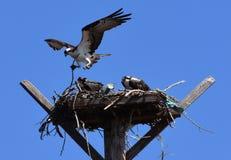 Nido Falco pescatore-pieno del bacino di Colombia: Haliaetus e uccellini implumi del Pandion Fotografia Stock