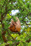 Nido I della vespa Fotografie Stock Libere da Diritti