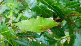 Nido rosso della formica sull'albero video d archivio