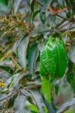 Nido rosso della formica sull'albero di mango Fotografie Stock