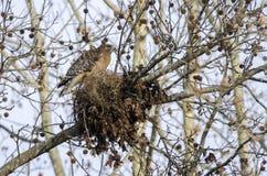nido Rosso-messo della costruzione del falco, Georgia, U.S.A. Immagine Stock Libera da Diritti
