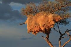 Nido sociale Namibia dei tessitori del deserto Fotografia Stock
