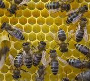Nids d'abeilles de construction d'abeilles Photos stock