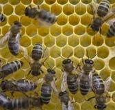 Nids d'abeilles de construction d'abeilles Photo libre de droits