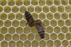 Nids d'abeilles de construction d'abeilles Photos libres de droits
