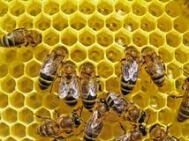 Nids d'abeilles de construction d'abeilles. Photos libres de droits