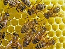 Nids d'abeilles de construction d'abeilles. Photo libre de droits