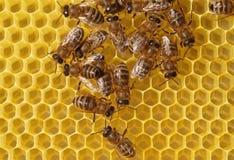 Nids d'abeilles de construction d'abeilles. Image stock