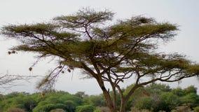Nids d'oiseaux aux extrémités des branches d'arbre d'acacia pour la protection contre des prédateurs banque de vidéos