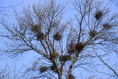 Nids des corneilles sur les branches élevées des arbres Automne tardif nids des oiseaux image stock