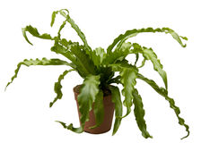 nidus asplenium Стоковая Фотография