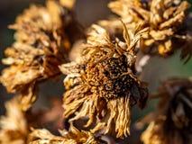Nieżywy, brąz zimy zinnias 1 zdjęcia stock