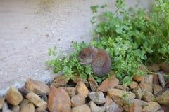 nieśmiała myszka Obraz Stock