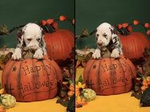 nieśmiały dyniowy Halloween psi szczeniak Fotografia Royalty Free