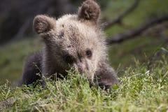 Nieśmiały dziecko niedźwiedź na brzuchu Obraz Royalty Free