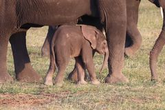 Nieśmiały słonia lisiątko obrazy stock