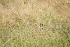 Nieśmiały Steenbok w wysokiej trawie obraz stock
