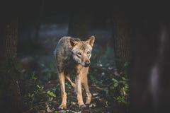 Nieśmiały wilk Obraz Stock